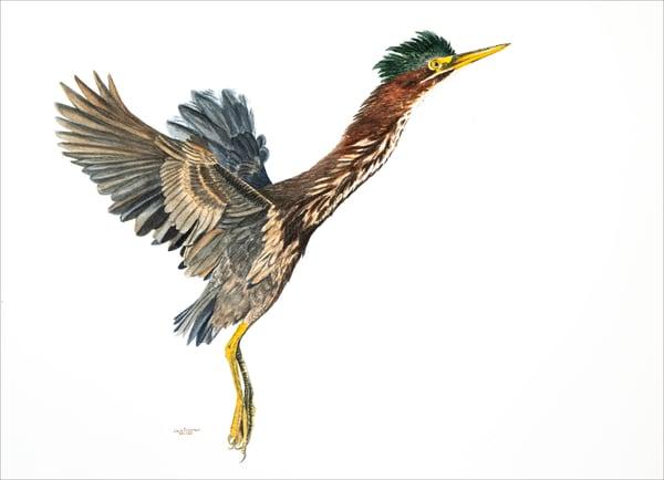 Green Heron Takeoff Photography Art | Drew Smith Photography, LLC