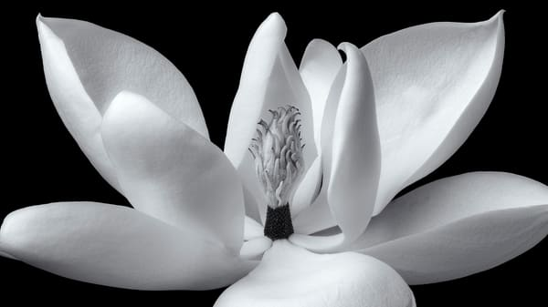 Magnolia Open Flower