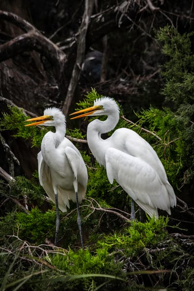 Juvenile Great Egrets
