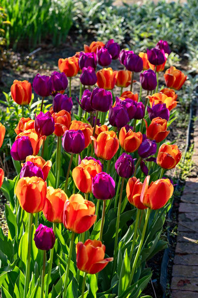 Purple And Orange Tulips Photography Art | Quiet Heart Images, LLC