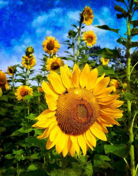 Sunflower Photography Art | Quiet Heart Images, LLC