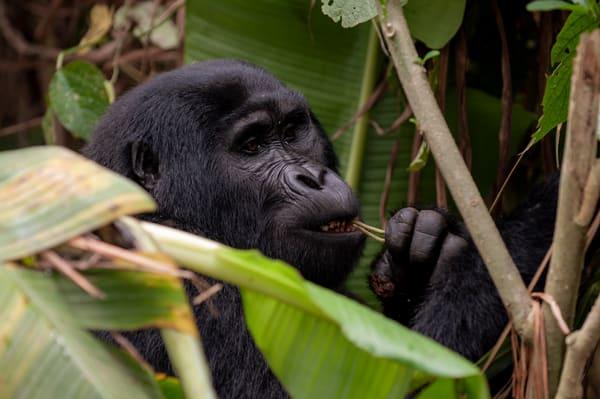 Gorilla, Bwindi Photography Art | Sudha Photography