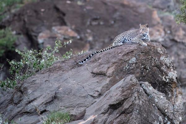 Rock Leopard  Photography Art | Sudha Photography