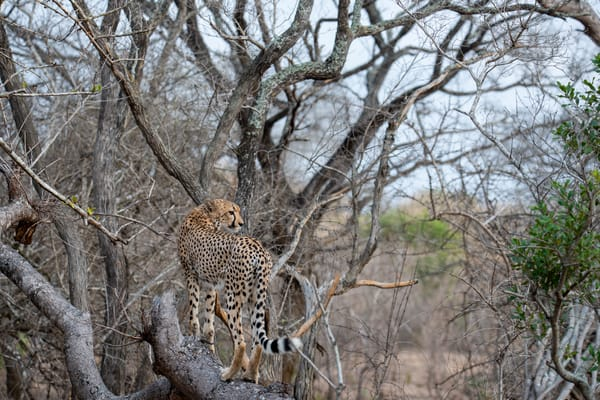 Cheetah On Tree Photography Art | Sudha Photography