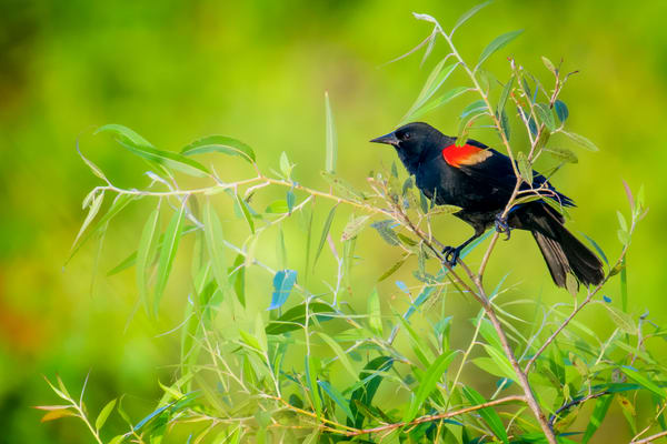 Red Winged Black Bird at Lawton Pond