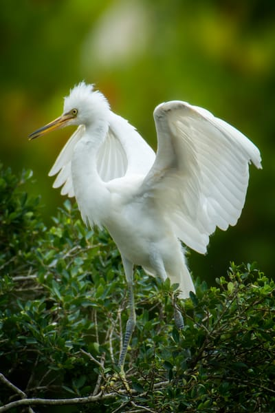 Juvenile Snowy Egret Testing Out Wings