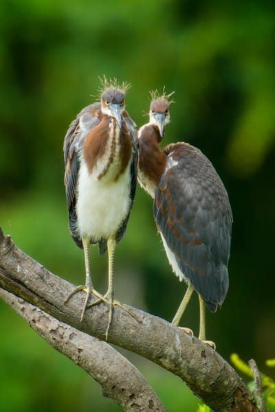 Juvenile Tricolor Herons with Attitude