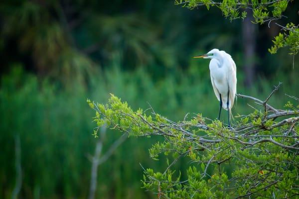Great Egret Overlooking Ibis Pond