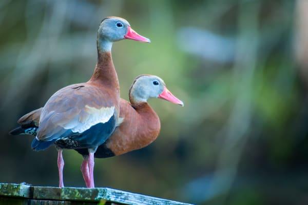 Pair of Black Bellied Whistling Ducks During Mating Season