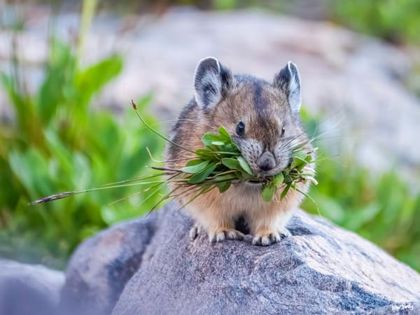 Pika Gathering Food For The Winter Photography Art | Peter Batty Photography