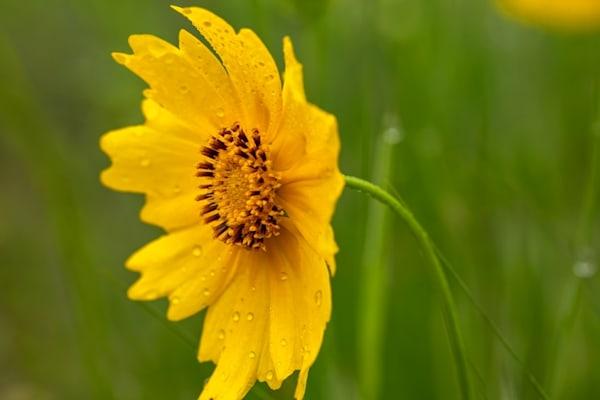 Yellow Daisy Wildflower Side5680  Photography Art | Koral Martin Healthcare Art
