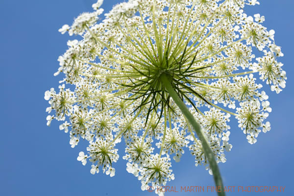 Queen Annes Lace Below 1078  Photography Art | Koral Martin Healthcare Art