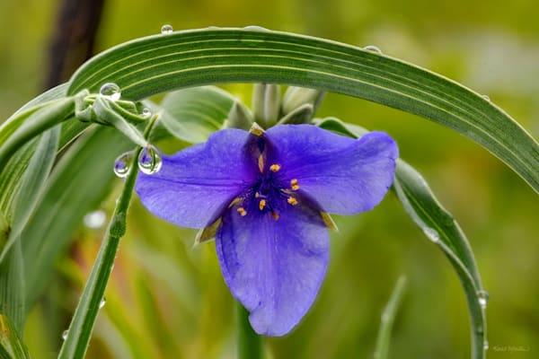 Spiderwort Waterdrop 0911 13 C   Photography Art | Koral Martin Healthcare Art
