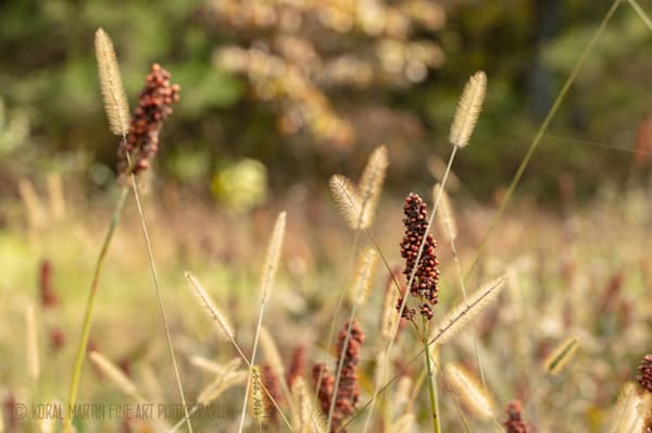 Grasses 0727  Photography Art | Koral Martin Healthcare Art