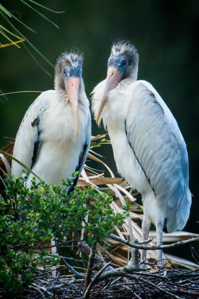 Pair of Juvenile Wood Storks on Rookey Island