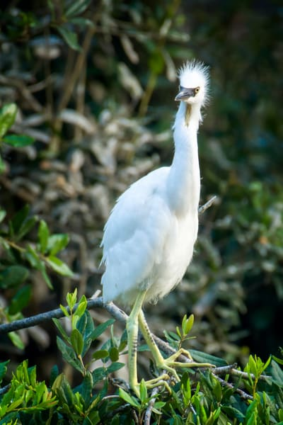 Juvenile Snowy Egret with Spiked Hair