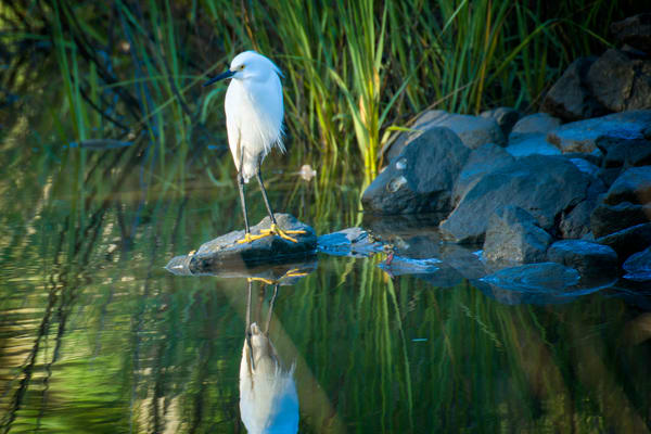 Snowy Egret Standing on Rock at Lagoon Edge