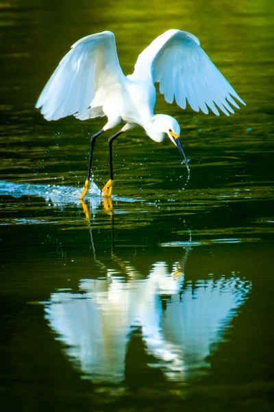 Snowy Egret in Flight with Fresh Catch