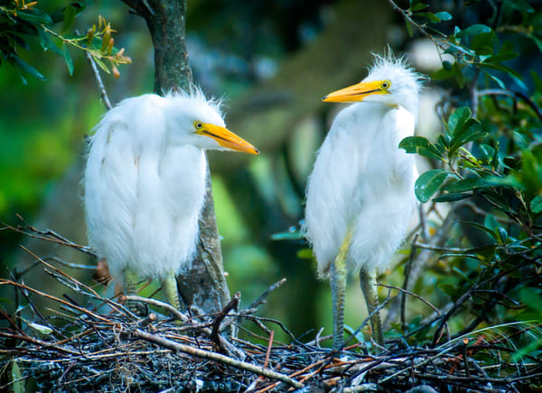 Pair of Juvenile Snowy Egrets on Nest