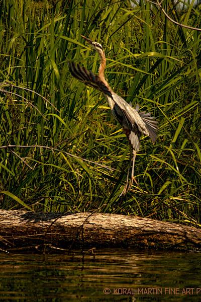 Heron Jumping0899     Photography Art | Koral Martin Healthcare Art