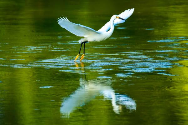 Snowy Egret in Flight over Audubon Pond