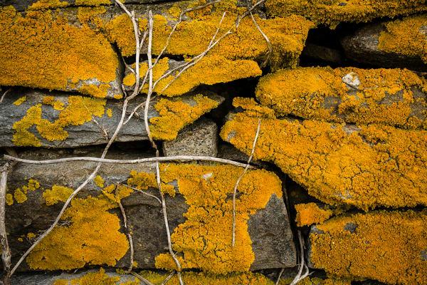 Stone wall with lichen, Sakonnet Point, Little Compton, Rhode Island.