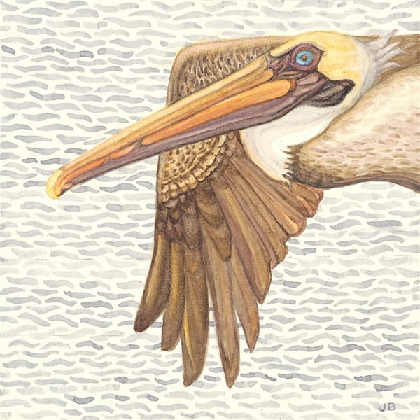 Flying Brown Pelican reproduction of original watercolor by Judy Boyd