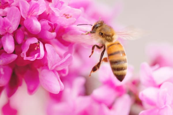 PBuzenius-Bee-in-Redbud