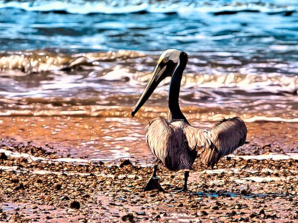 PBuzenius-Brown-Pelican