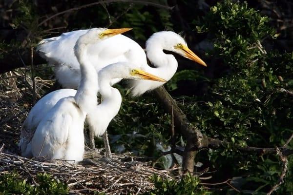 P Buzenius   Egret Nest Art | Branson West Art Gallery - Mary Phillip