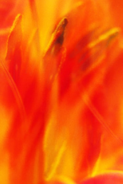 PBuzenius-Tiger-Lily-Fire