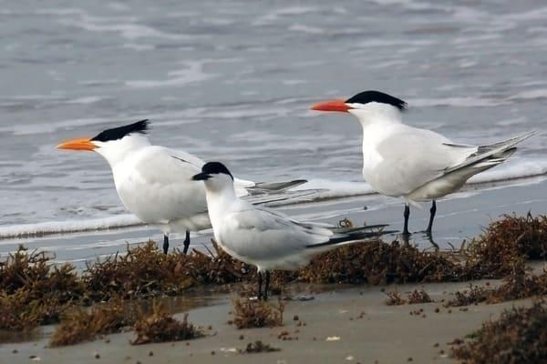 PBuzenius-Three-Terns