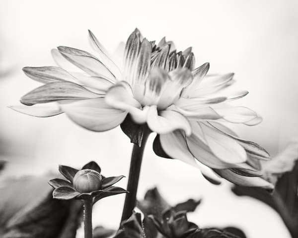 Dahlia With Bud Photography Art | Roman Coia Photographer