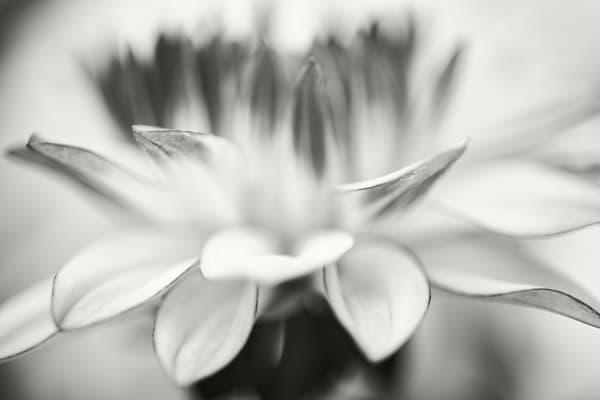 Dahlia Study Vi Photography Art | Roman Coia Photographer