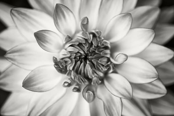 Dahlia Study I Photography Art | Roman Coia Photographer