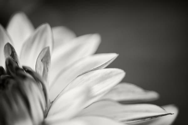 Dahlia Study Ii Photography Art | Roman Coia Photographer