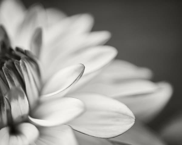 Dahlia Study Iii Photography Art | Roman Coia Photographer