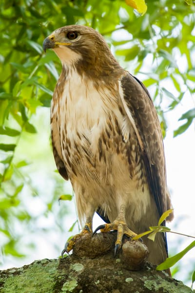 Red Tailed Hawk Perched in Tree