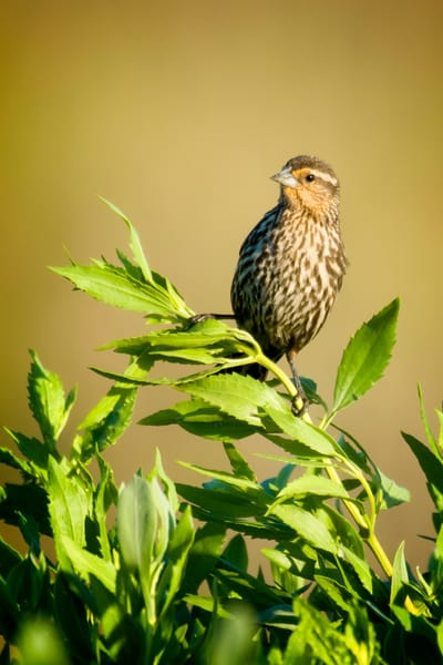 Female Red Winged Blackbird in Marsh