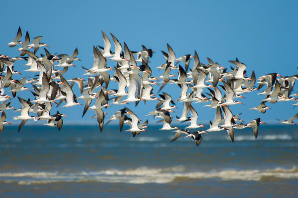 Flock of Black Skimmers in Flight