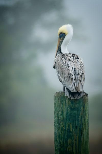 Brown Pelican Standing on Wharf Pile in Fog