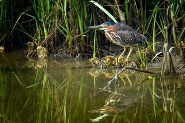 Green Heron at Edge of Ibis Pond