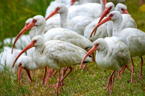 Flock of White Ibis at Pond Edge