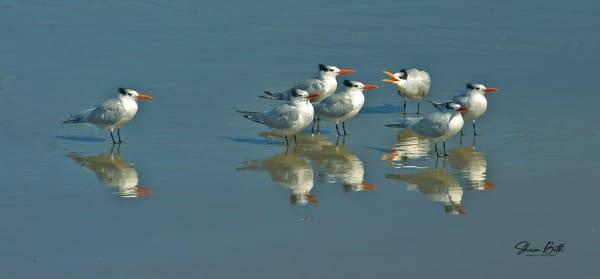 Royal Terns Art | Sharon Beth