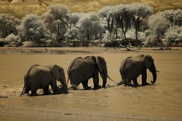 Elephant Crossing Photography Art   nancyney
