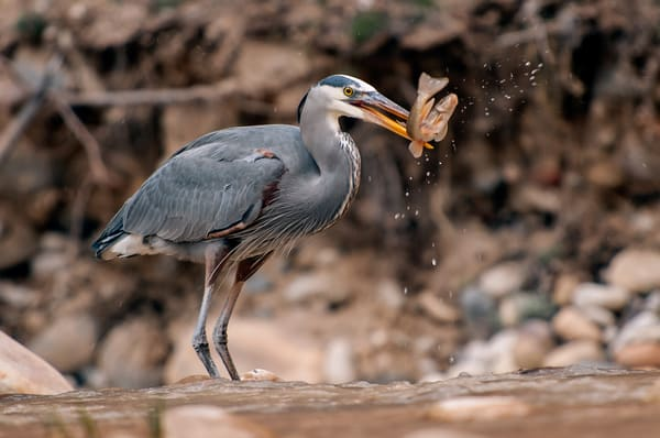 Great Blue Heron Lunch Photography Art | Cardinal ArtWorks LLC