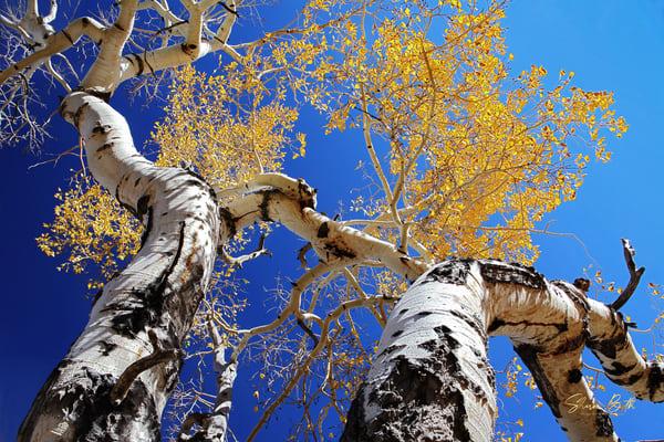 Aspen In The Sky Art | Sharon Beth