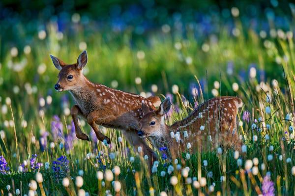 Deer fawns playing among wildflowers.