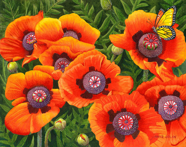 """Linda's Poppies"" fine art print by Jim Dolan."