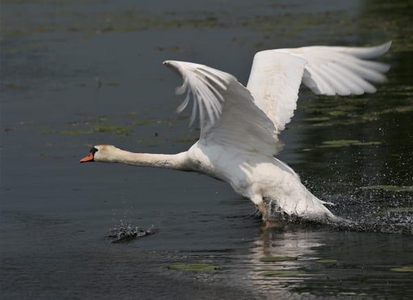 Swan Taking Off 2 Art   DocSaundersPhotography